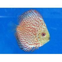 Disco Rojo Tigre (7.5cm)